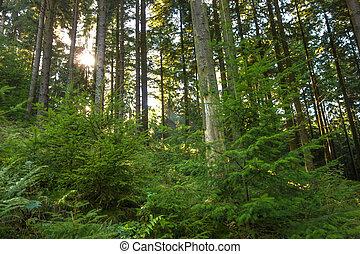 森林, sunrays