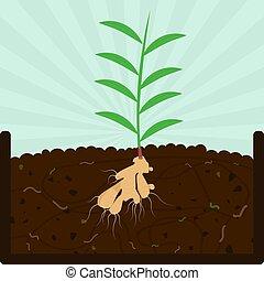 植えつけ, 堆肥, 木, ショウガ