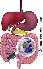 植物群, probiotic, 系統, 消化, 膽子, 細菌