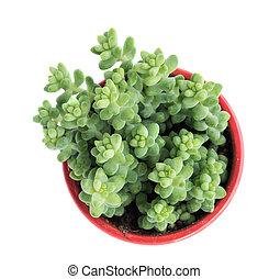 植物, みずみずしい, ミニチュア