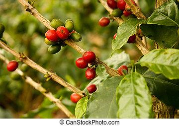 植物, コーヒー, 成長した