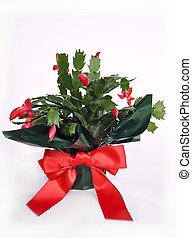 植物, サボテン, クリスマス, 花