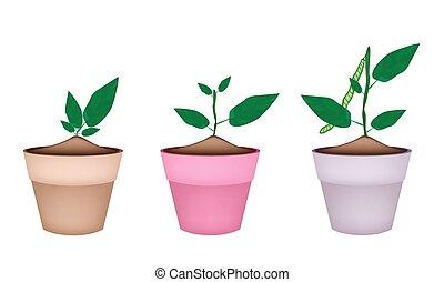 植物, セラミック, mung, ポット, 豆, 花
