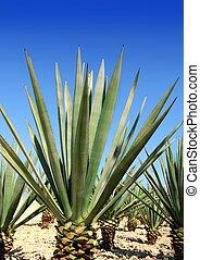 植物, メキシコ人, tequila, tequilana, リュウゼツラン, 酒