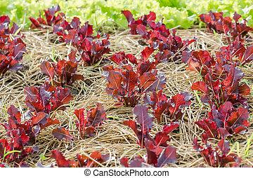 植物, レタス, 赤