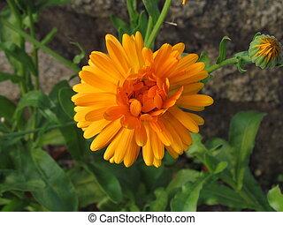 植物, 使われた, オレンジ花, calendula, 伝統的である, 美食, officinalis, 薬, クローズアップ