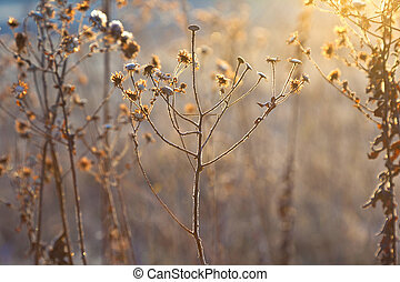 植物, 凍らせられた, 冬季, 牧草地, バックライト