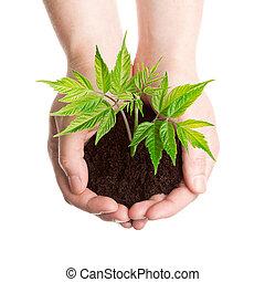 植物, 在, a, 手