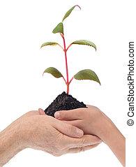 植物, 手, 若い, 孫, grand-dad
