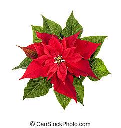植物, 白色, 被隔离, 一品紅, 聖誕節