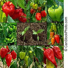 植物, 胡椒