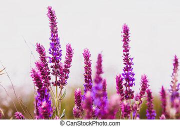 植物, 花, 葉, 庭, 自然, 紫色, セージ, 花, salvia, 緑, 薬, 花