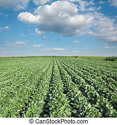 植物, 農業, 大豆, フィールド