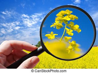 植物, colza, チェコ, -, /, 生態学的, 菜種, 農業, 農業
