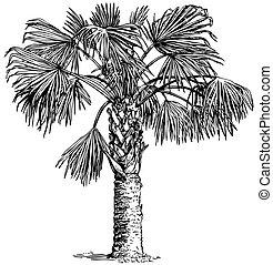 植物, sabal, palmetto