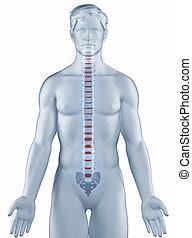 椎骨, ポジション, 解剖学, 人, 隔離された