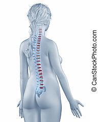 椎骨, ポジション, 解剖学, 女, 隔離された, 後の視野