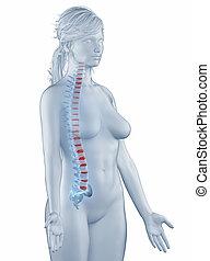 椎骨, ポジション, 解剖学, 女, 隔離された, 横の視野