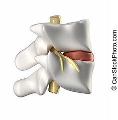 椎骨, intervertebral ディスク, そして, 脊髄
