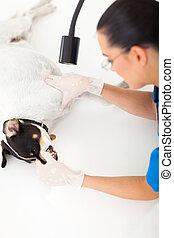 検査, 獣医, 医者, ペット, 犬, 歯