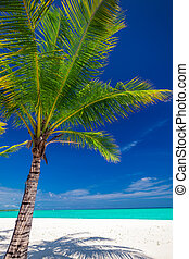 椰子, 馬爾代夫, 樹, 熱帶, 單個, 棕櫚, 白色的海灘