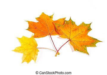 楓樹, 秋季离去, 被隔离, 在懷特上, 背景
