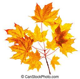 楓樹, 秋季离去, 被隔离, 在懷特上, 背景。