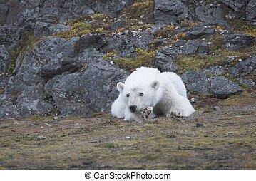 極地, 北極, 年輕, 熊