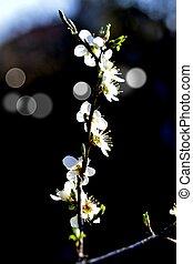 概念, プラム, 春, 花