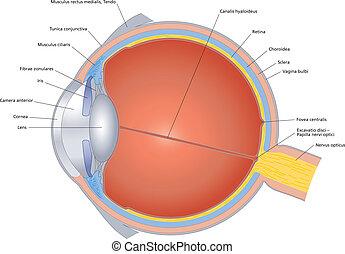構造, の, ∥, 人間の目, ラベルをはられた