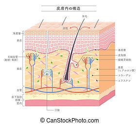 構造, 皮膚, 日本語, 表示法