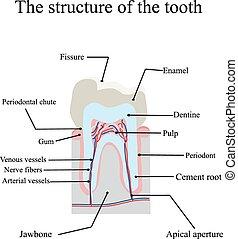 構造, 解剖, 隔離された, 背景, 歯