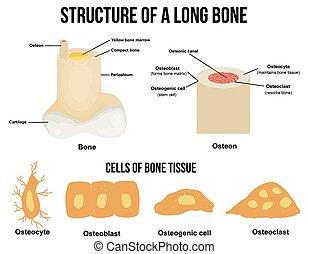 構造, 長い間, 骨