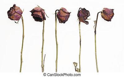 横列, の, 5, 古い, 乾かされた, 赤いバラ, に対して, a, 白い背景