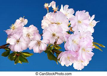 樱桃, 日语, 花