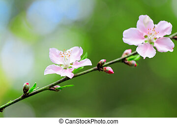 樱桃, 花, 天, 花, 春天