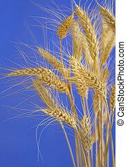樹干, ......的, 小麥, 針對, 藍色的天空