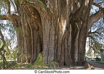 樹干, ......的, a, 非常, 老, 絲柏樹, 在, oaxaca, 墨西哥
