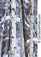 樹幹在冬天