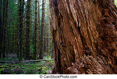 樹木が茂った, 古い, 分裂, 木, 成長, ヒマラヤスギ, 大きい, rainforest, 赤, 離れて