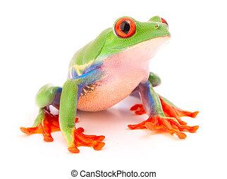 樹青蛙, 熱帶, anima, 被看, 紅色