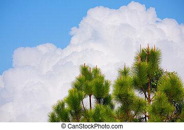 樹, 天空, 松樹, 雲