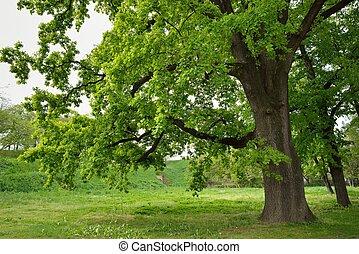 樹, 橡木, 公園