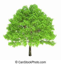 樹, 被隔离, 上, a, 白色 背景