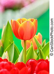橙和紅色, 郁金香