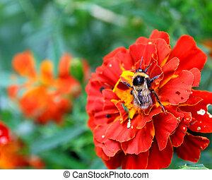 橙, 万壽菊, bumblebee, 花