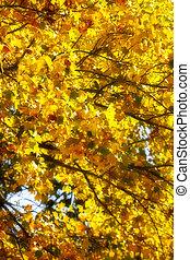 橙, 槭樹葉