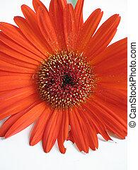 橙, 雛菊, 特寫鏡頭