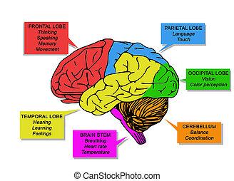 機能, イラスト, 人間, brain's