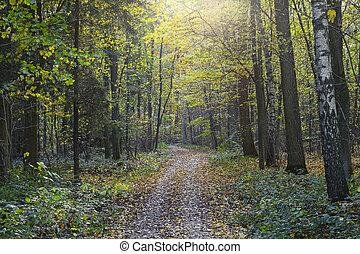 橡木, 樹, 森林, 透過, 路徑